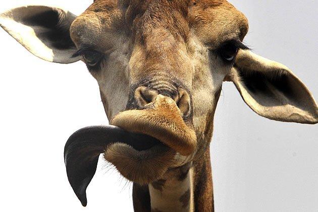 22-girafa-ap-jpg_184214